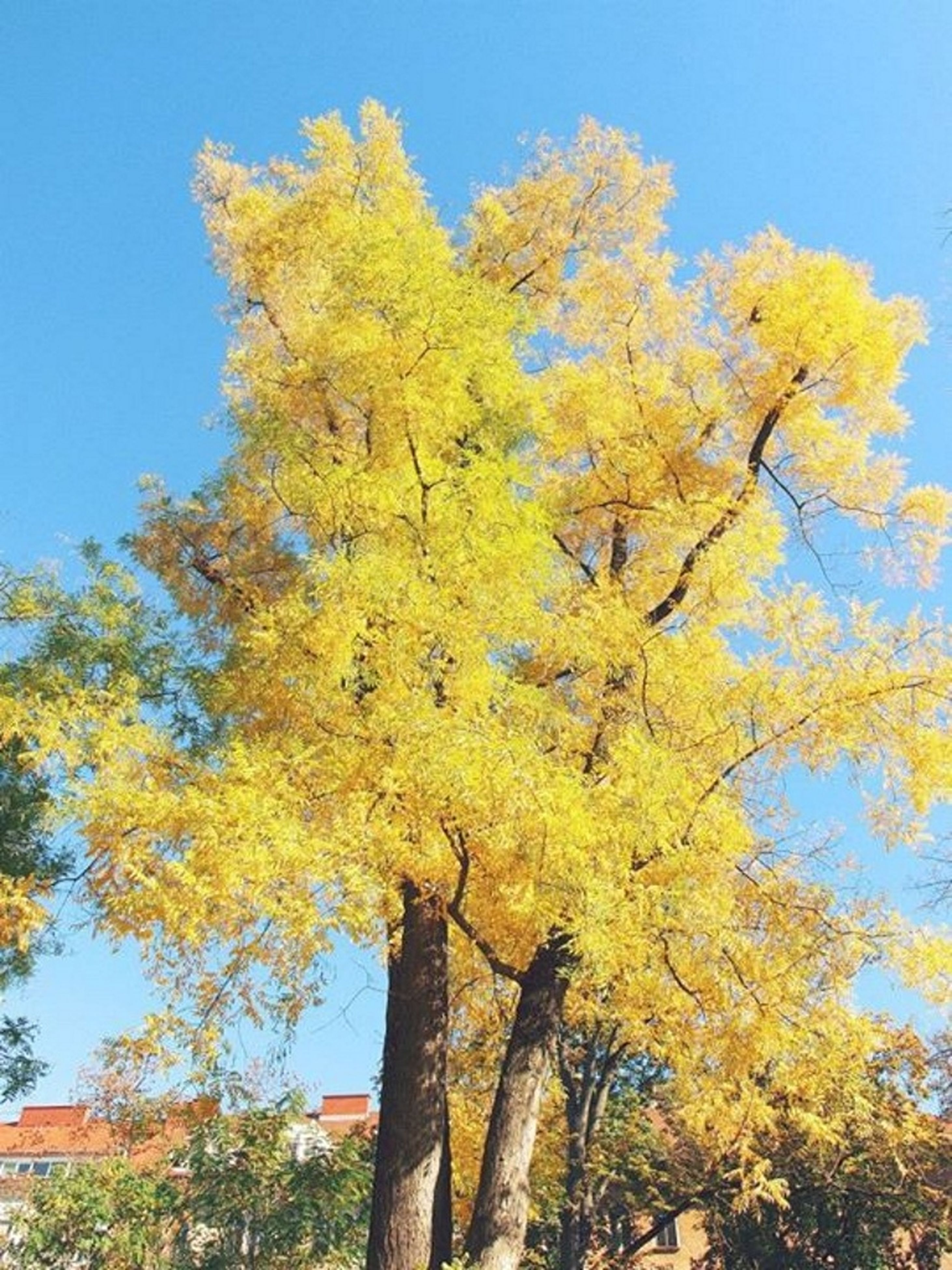 tree, yellow, clear sky, low angle view, growth, autumn, branch, change, blue, nature, season, beauty in nature, sunlight, tranquility, flower, day, sky, outdoors, no people, park - man made space