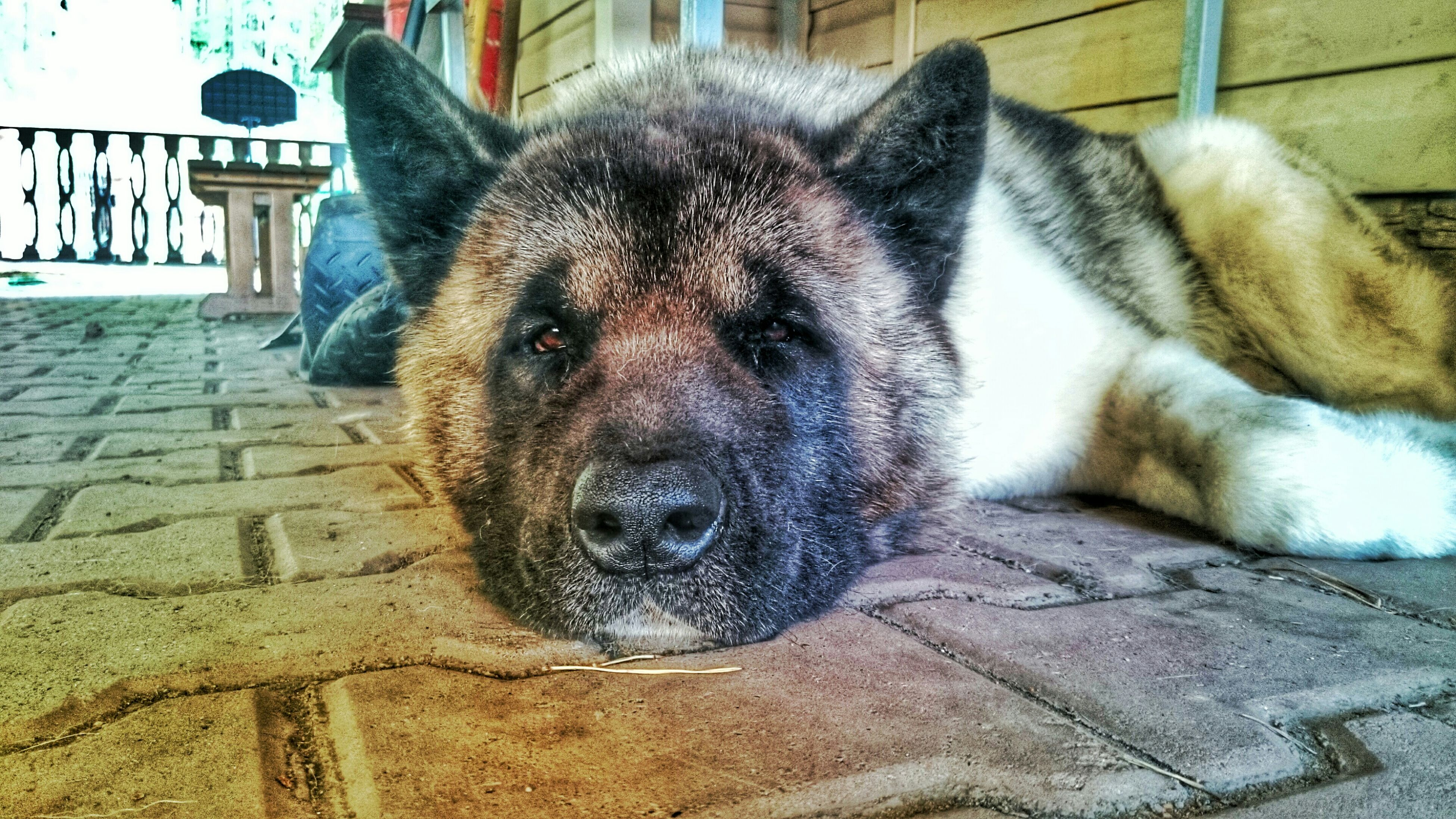 pets, domestic animals, animal themes, mammal, one animal, dog, relaxation, lying down, resting, close-up, sleeping, animal head, indoors, no people, portrait, zoology, looking at camera, eyes closed, animal, high angle view