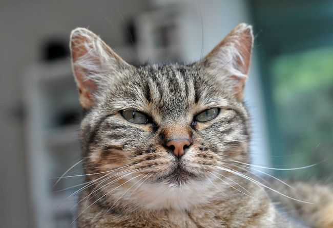 Tigrette Cat Cats Cat♡ Cat Lovers Catsofinstagram Catoftheday Cats Of EyeEm Pet Pets Animals Animal Animal Photography Animal Head  Animal_collection