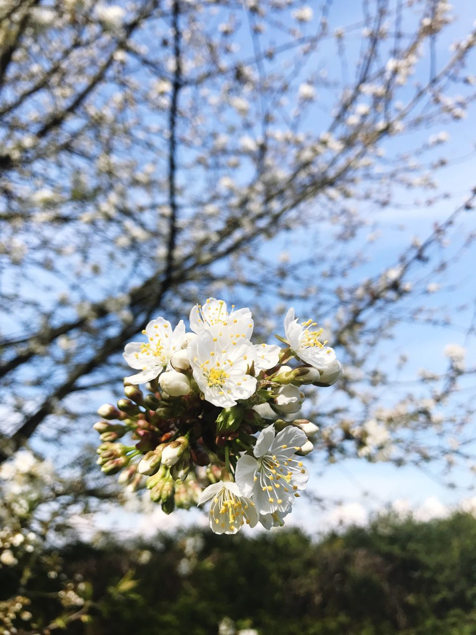 flower, blossom, fragility, tree, apple blossom, cherry blossom, branch, growth, springtime, white color, nature, apple tree, beauty in nature, orchard, cherry tree, freshness, botany, almond tree, white, petal, no people, flower head, day, twig, plum blossom, low angle view, spring, focus on foreground, stamen, close-up, outdoors, blooming, sky