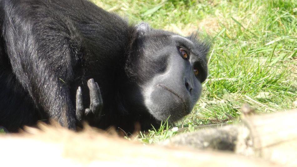 Beautiful monkey Animal Themes Mammal Primate Grass One Animal Black Color Day Outdoors No People Chimpanzee Nature Animal Wildlife Gorilla Monkey Chimpanzee Close-up