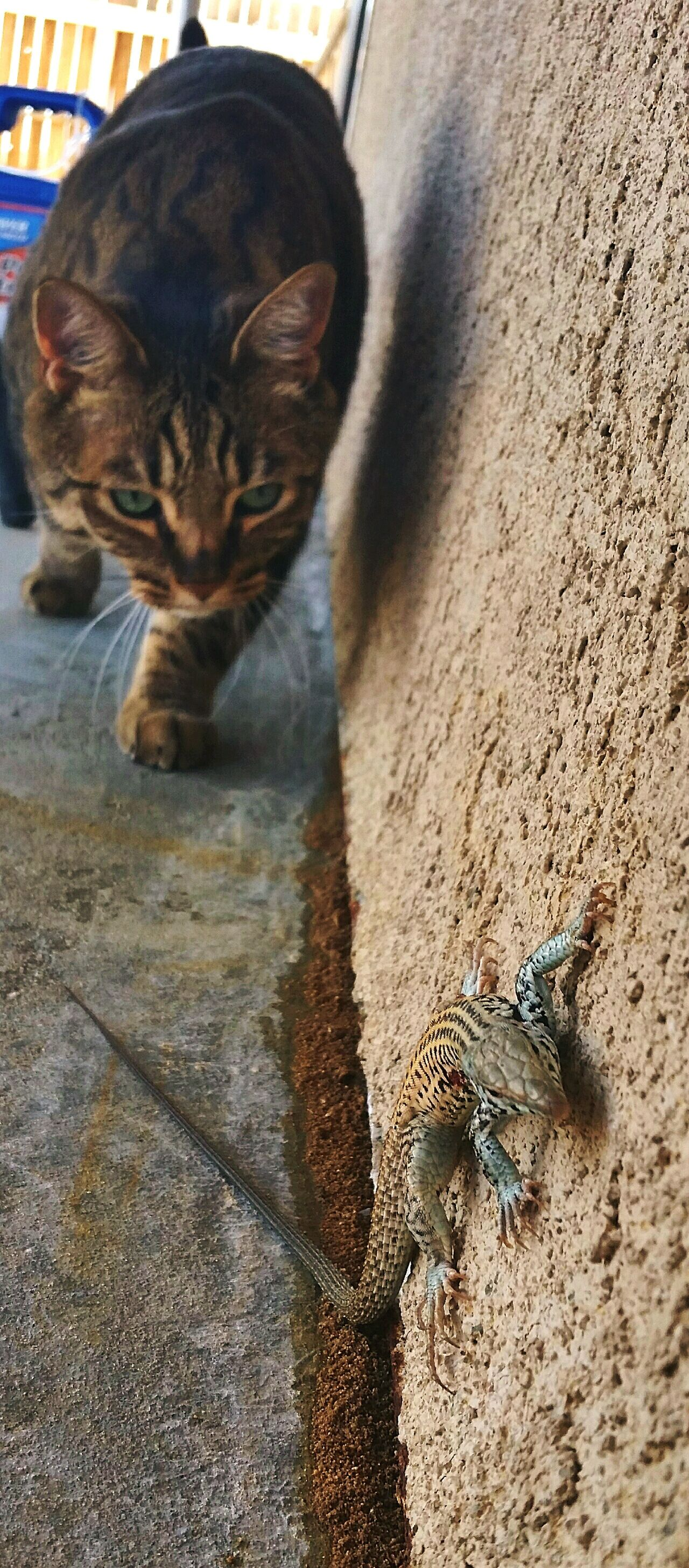 EyeEmNewHere the morning hunter Lizard Close Up Hunted By Cat Domestic Cat Outdoors Day No People Feline Pets