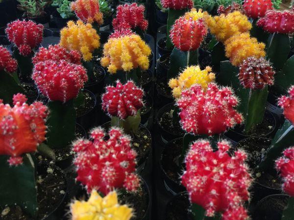 Plants For Sale Cactus Garden Cactus Flower Cactus Cacti Garden Cacti Shopping For Plants Indoor Plants Garden Nursery Nursery Houseplant Home Center Houseplants
