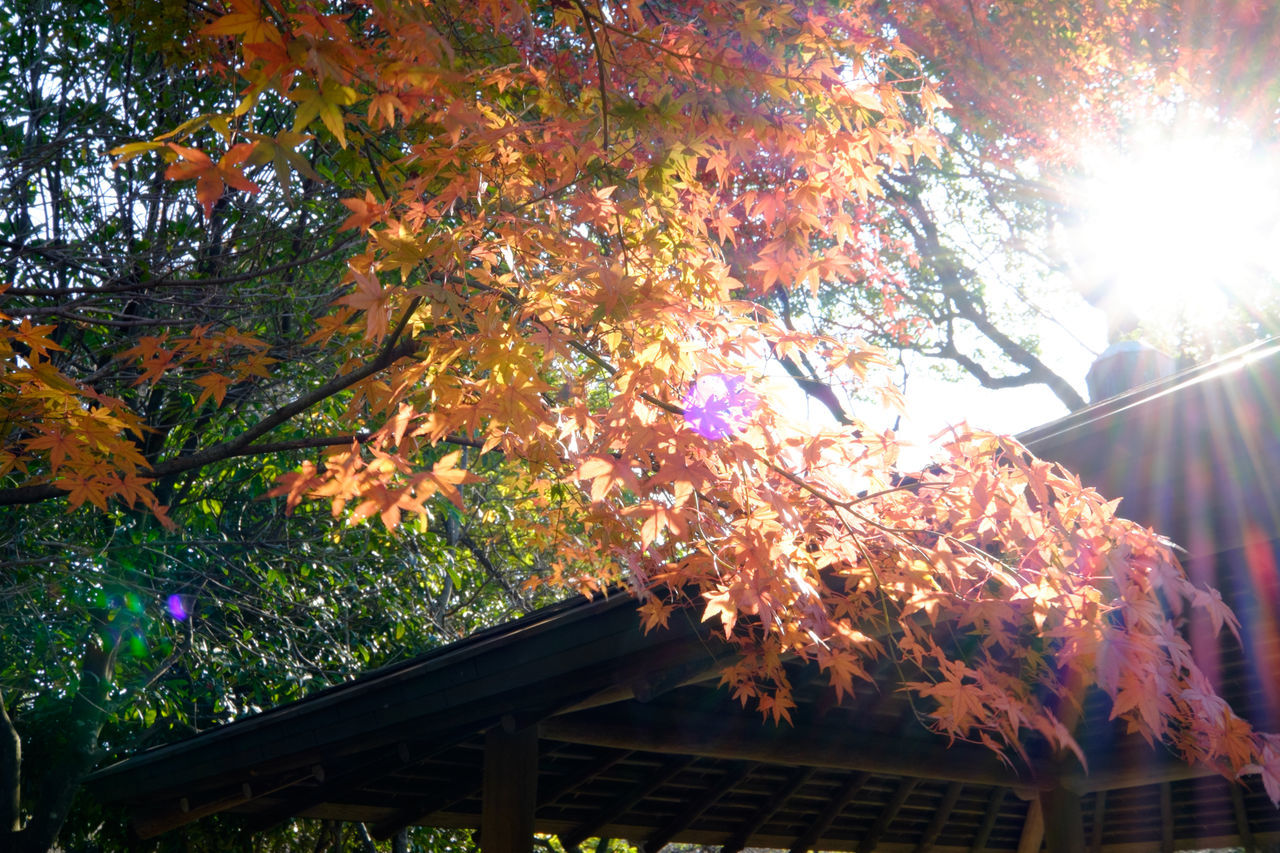 autumn, leaf, change, tree, nature, beauty in nature, lens flare, low angle view, growth, maple leaf, maple tree, no people, outdoors, day, branch, fragility, maple, scenics, close-up