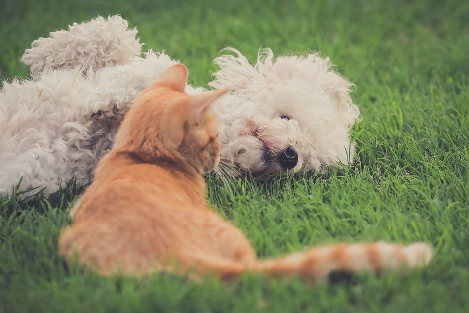 Animal Themes Day Dog Domestic Animals Field Grass Green Color Lying Down Mammal No People One Animal Outdoors Pets Shih Tzu
