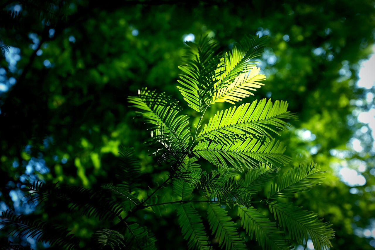 Neon Life Tree Green Color Nature Growth Leaf Green Day Fern Focus On Foreground Beauty In Nature Branch No People Close-up Freshness Frond Outdoors Nature Photography Nature_collection Light And Shadow Green Green Green!  Green Color Sunlight EyeEm EyeEmNewHere