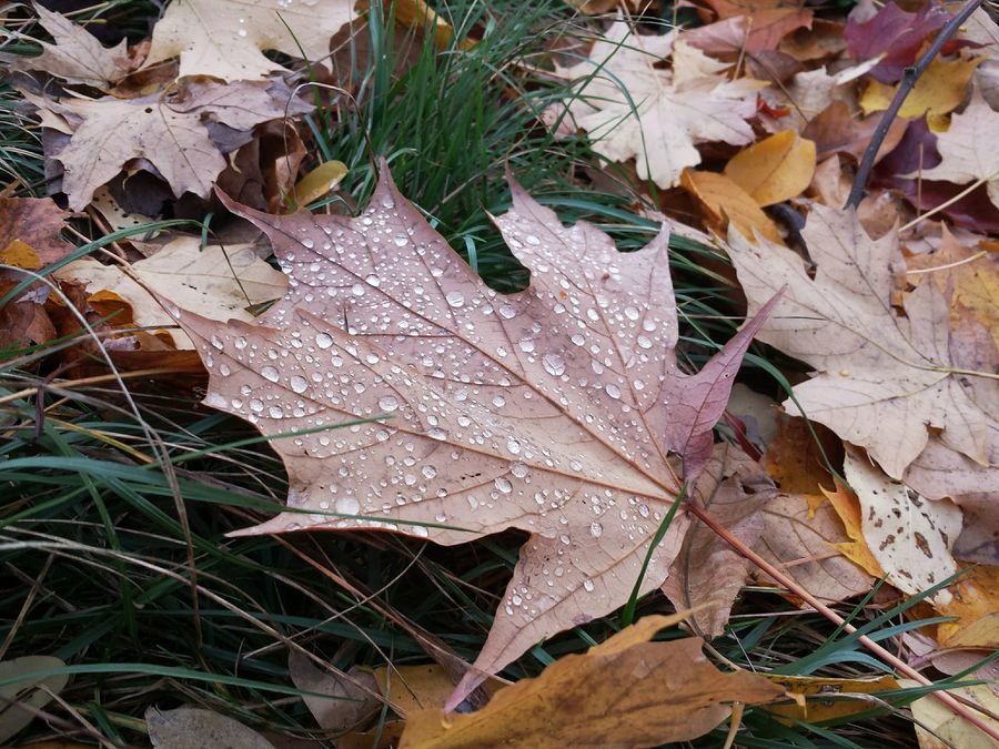 Autumn Early Evening Leaf Nature Autumn Outdoors High Angle View Mobile Photo Color Photography Close-up No People Change Leaves Day Simple Things In Life Getting Inspired Backgrounds Maple Leaf Beauty In Nature Maple Water Drops After The Rain Stopped Maximum Closeness