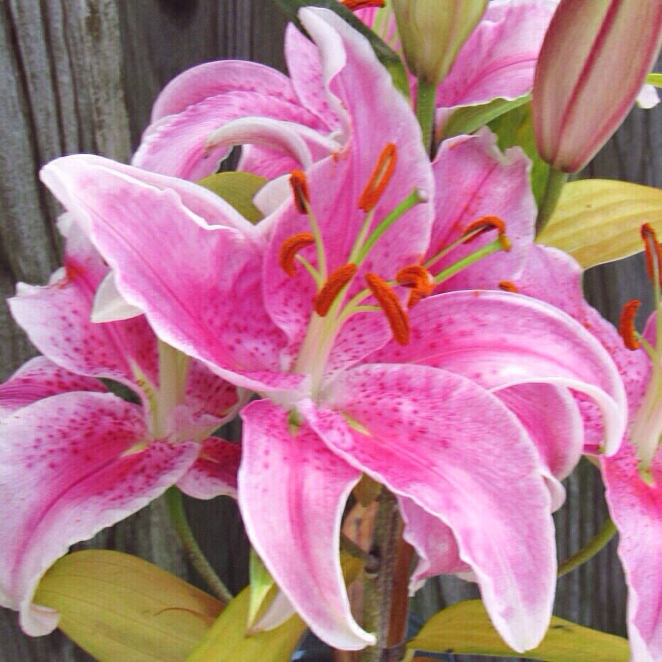 Happy Sunday 🙋🏼 Pink Color Lilies Blooming Flower Close-up Outdoors Nature Beauty In Nature Springtime From My Point Of View
