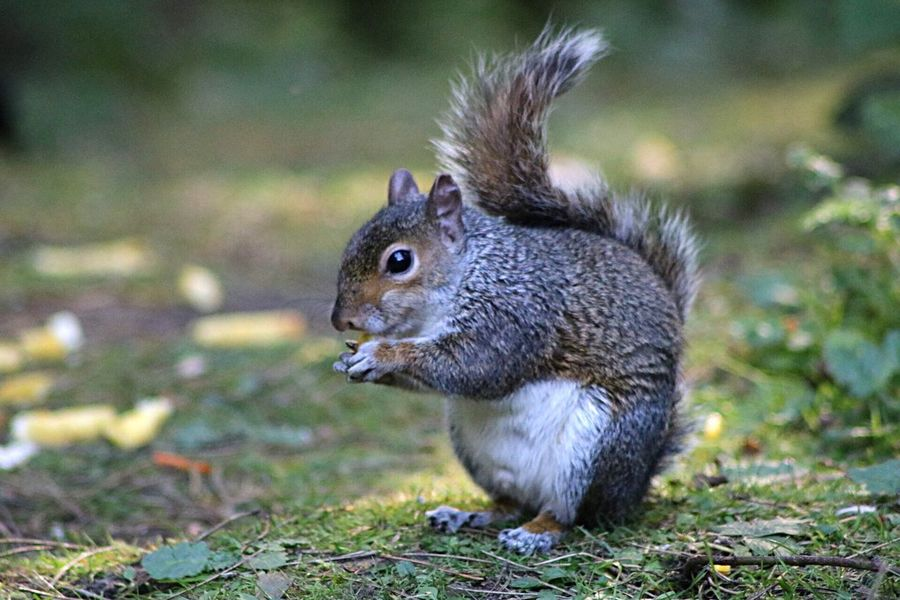 Nature Animals In The Wild Animal Themes Animal Wildlife Squirrel One Animal Mammal Eating No People Nature Outdoors Focus On Foreground
