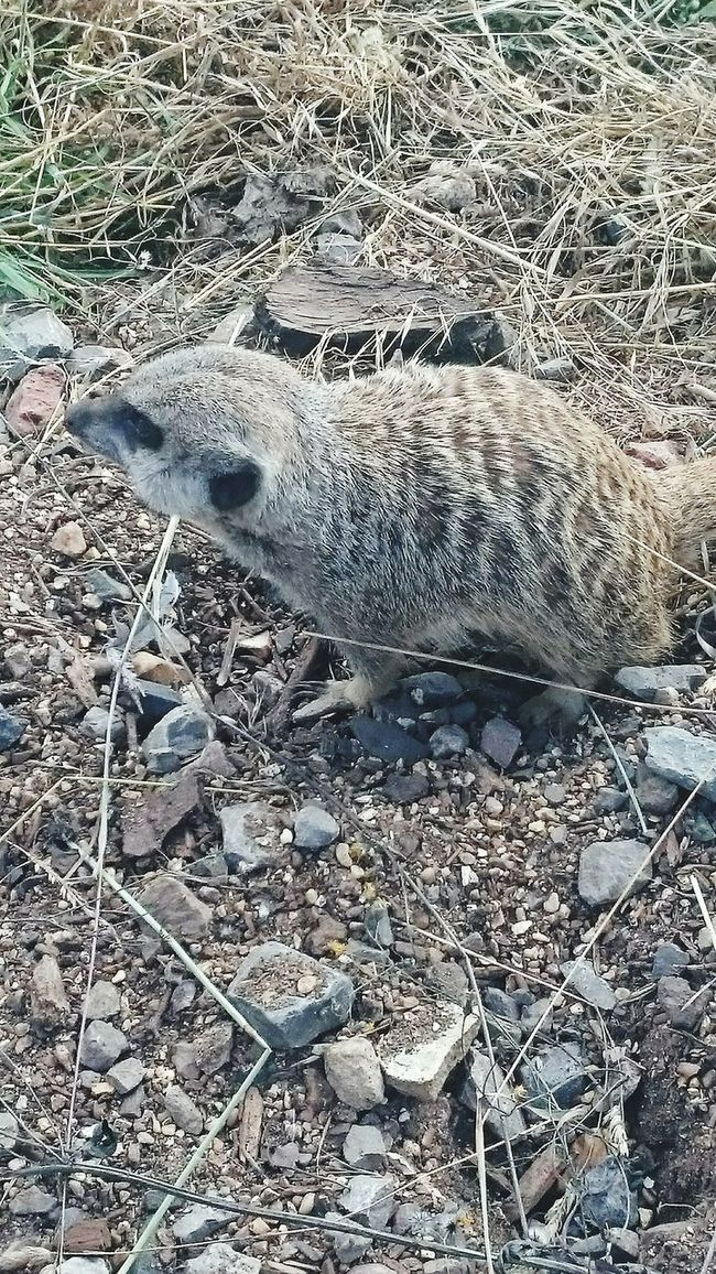 Animals Meerkat Hello World Taking Photos Escaping Daysout Walking Around Relaxing