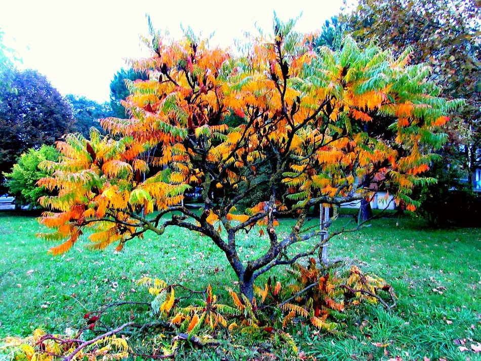 Tree Growth Nature Beauty In Nature Autumn Autumn🍁🍁🍁 Leaf Autumcolors Leafs 🍃 Leafcolor Colorfull Tree Amazing Tree Multi Colored Colorful From Green To Yellow