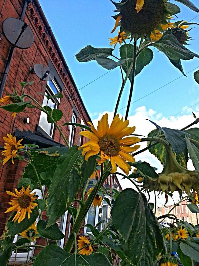 Sunflower Urban Gardening Autumn The World Needs More Yellow