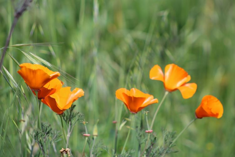 Easter Ready California Poppies Eye4photography  Eyemphotography EyeEm Gallery Spring Flowerporn Flower Collection Eyem Nature Lovers