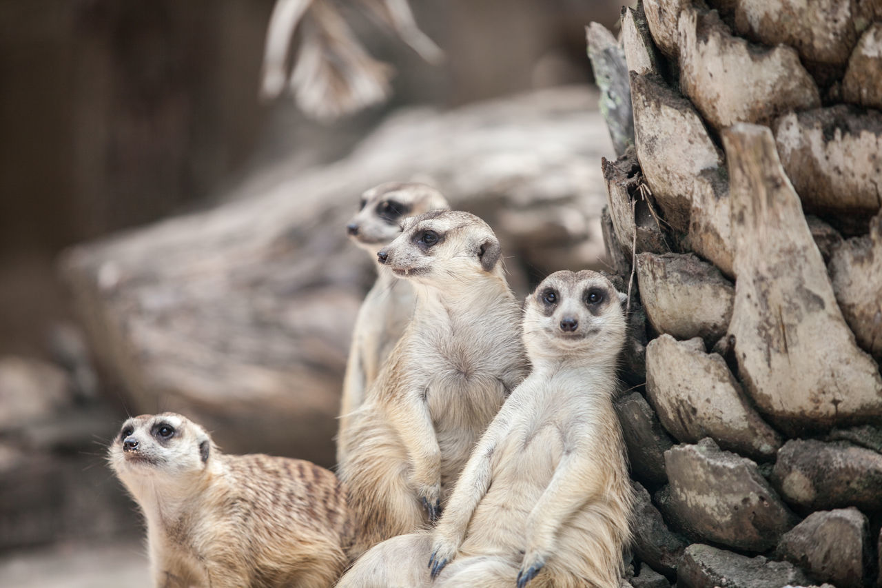 Animal Themes Animal Wildlife Animals In The Wild Day Focus On Foreground Mammal Meerkat Nature No People Outdoors Togetherness Tree