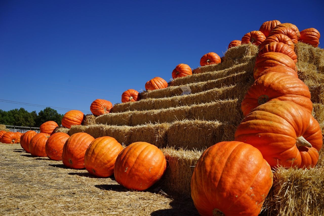 Beautiful stock photos of pumpkin, Abundance, Agriculture, Bale, Clear Sky