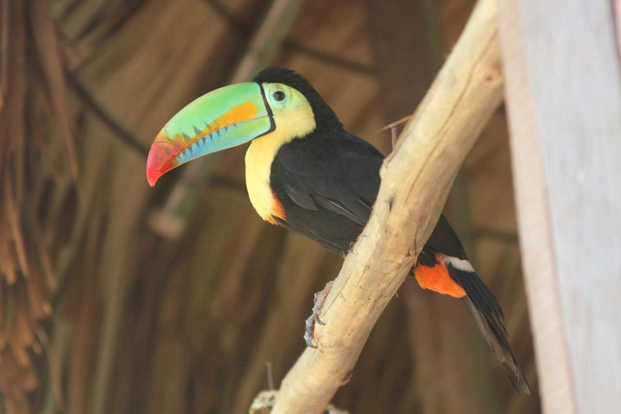 Vogel Bird Bird Photography Birds Birdwatching Birds_collection Tucan