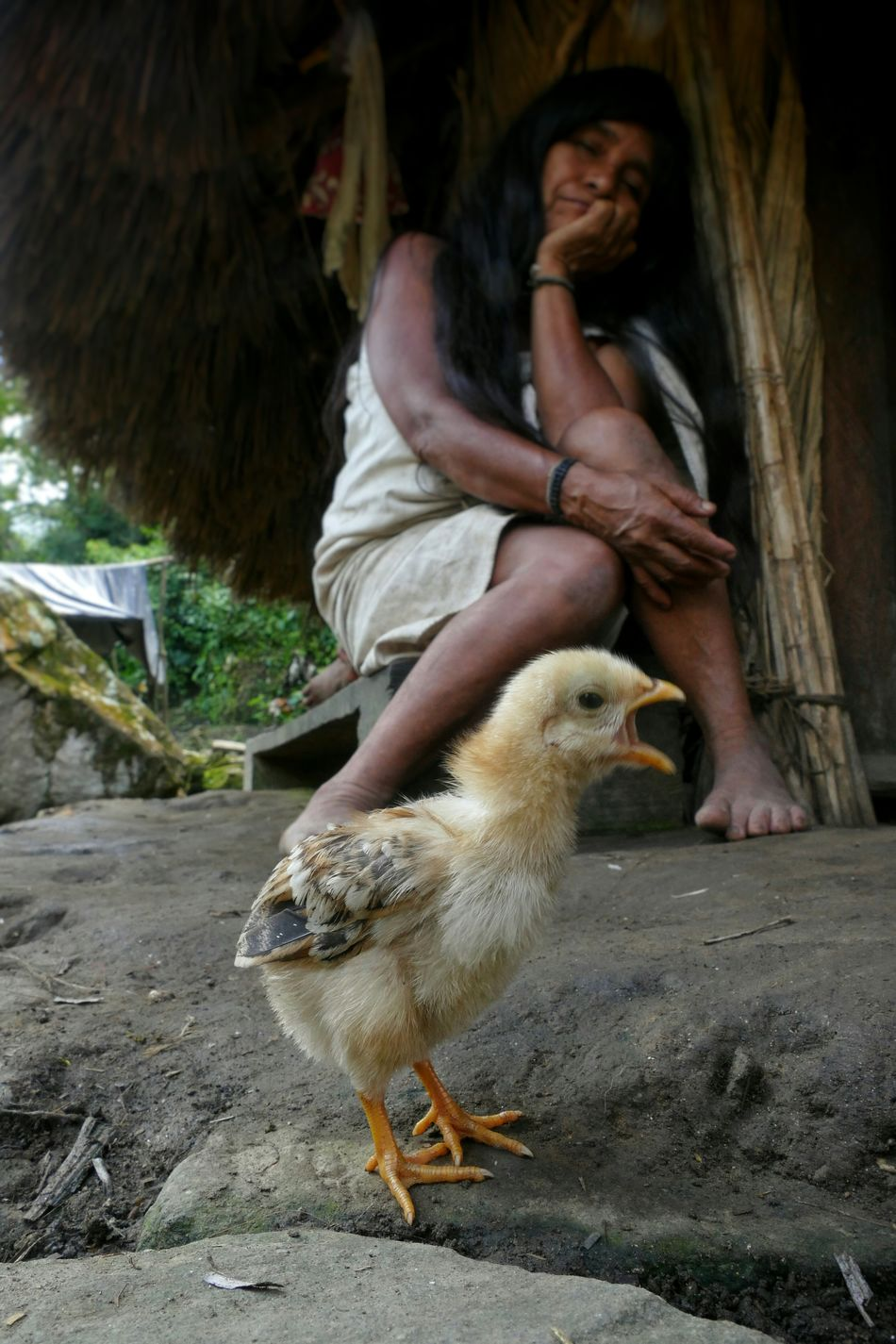 Ciudad Perdida Sierra Nevada De Santa Marta Indigenous People Kogi Chick Screeming Animals Focus On Foreground Chicken Woman Traditional Hut People Traveling Travel People And Places My Year My View Miles Away Women Around The World