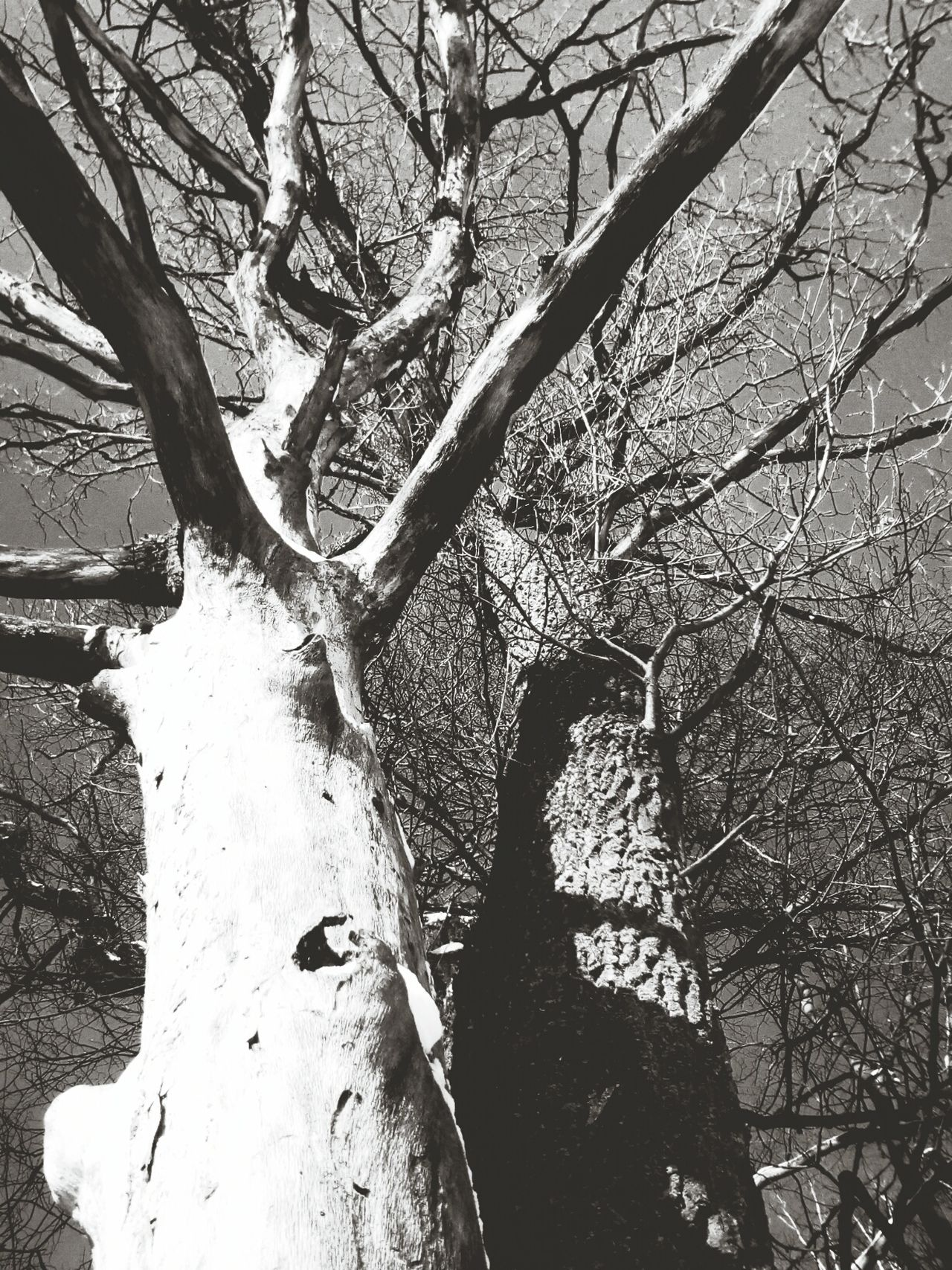 Tree Low Angle View Tree Trunk Day No People Branch Nature Sky Outdoors Bare Tree Close-up Blackandwhite Beauty In Nature Black And White EyeEm Nature Lover Nature_collection The Great Outdoors - 2016 EyeEm Awards Black & White Tree Trunk Frozen Low Angle View Tree Weather Blackandwhite Photography Silhouette