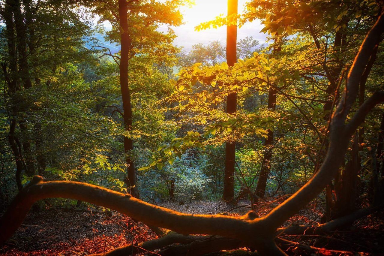 tree, autumn, nature, forest, tranquility, beauty in nature, landscape, no people, outdoors, branch, growth, scenics, day