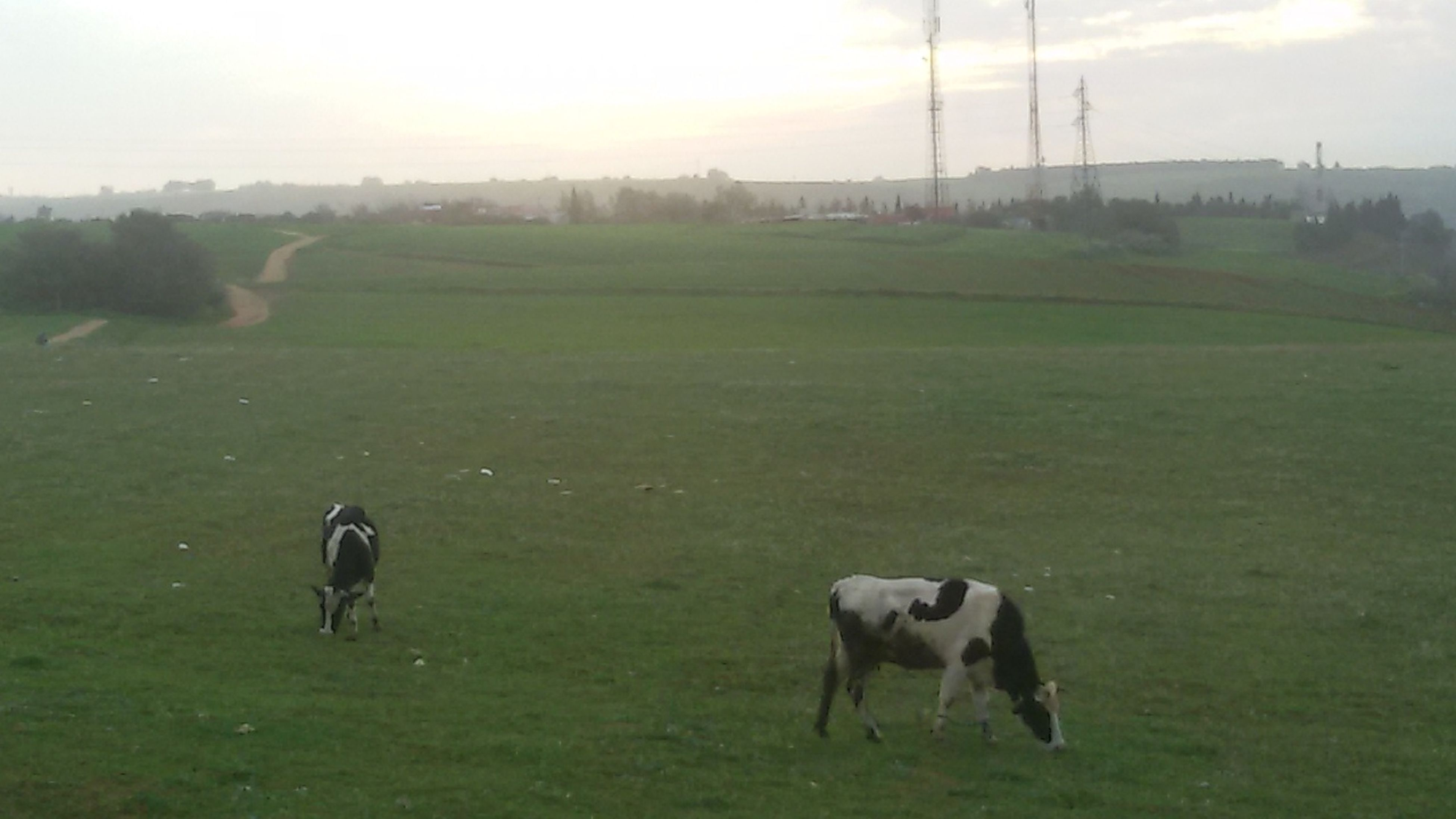 domestic animals, field, mammal, animal themes, grazing, landscape, green color, grass, livestock, nature, growth, pasture, no people, beauty in nature, outdoors, day, sky, togetherness