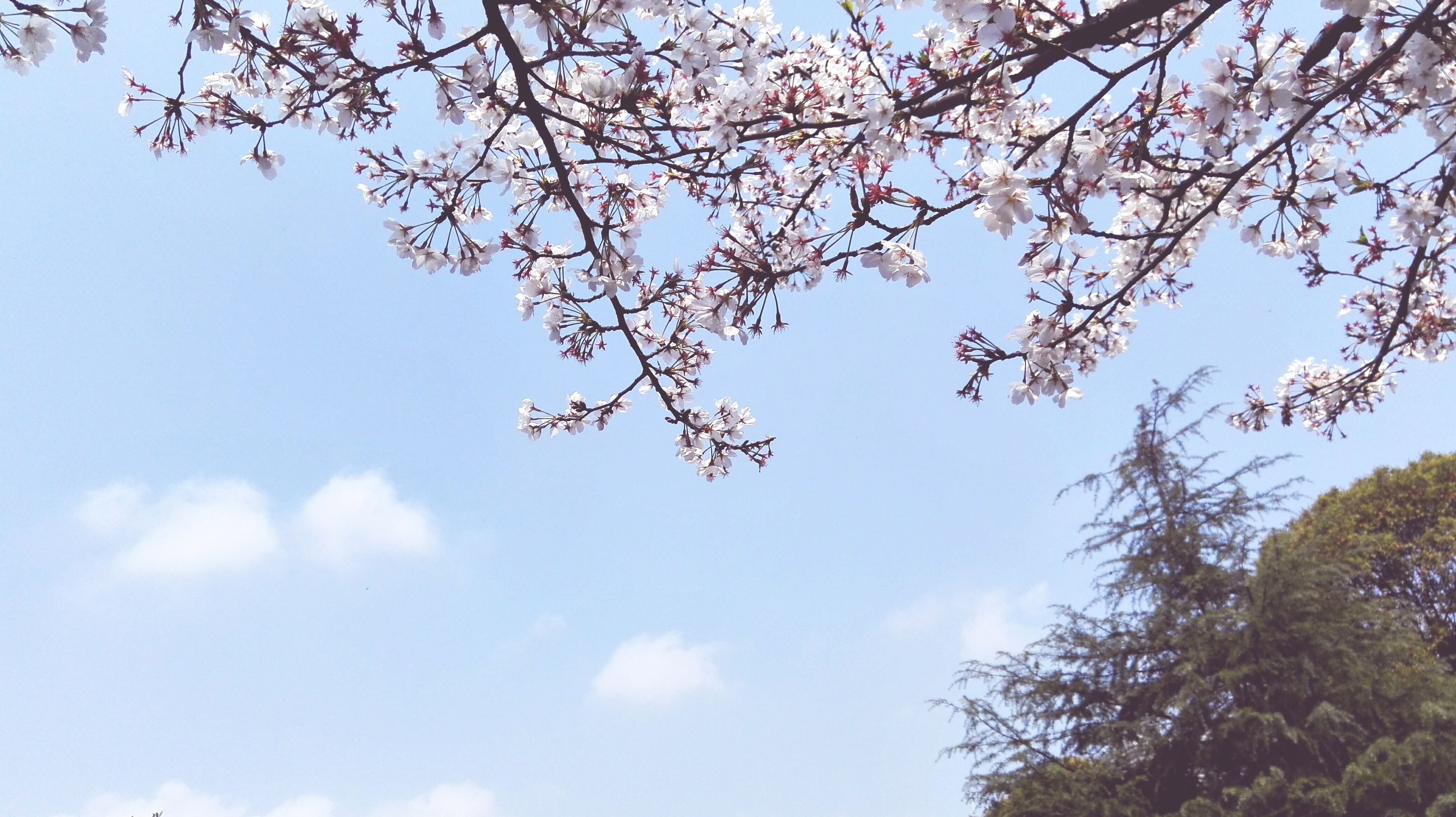 tree, low angle view, branch, sky, growth, beauty in nature, nature, flower, freshness, tranquility, blossom, day, cherry tree, outdoors, blue, no people, scenics, cherry blossom, fragility, springtime