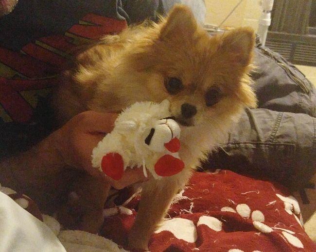 Pomeranian Pomeranians Are So Cute Pomeraniansofinstagram Ladysif Pomladysif Lambchop Newtoy Puppylove🐾🐶 Animalphotography Animal_collection Puppylife Dogs Of EyeEm Puppy Love ❤ Playtime W/ My Baby ❤ Playful