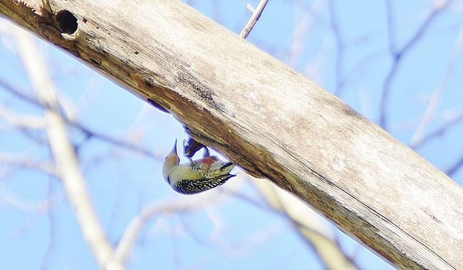 Woodpecker upside down on tree branch Beauty In Nature Blue Branch Nature No People Outdoors Perching Red Headed Woodpecker Selective Focus Tree Twig Woodpecker