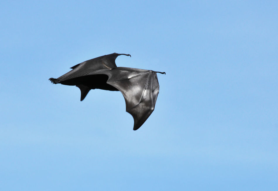 Beautiful stock photos of bat, Animal Themes, Animal Wildlife, Animals In The Wild, Black Color