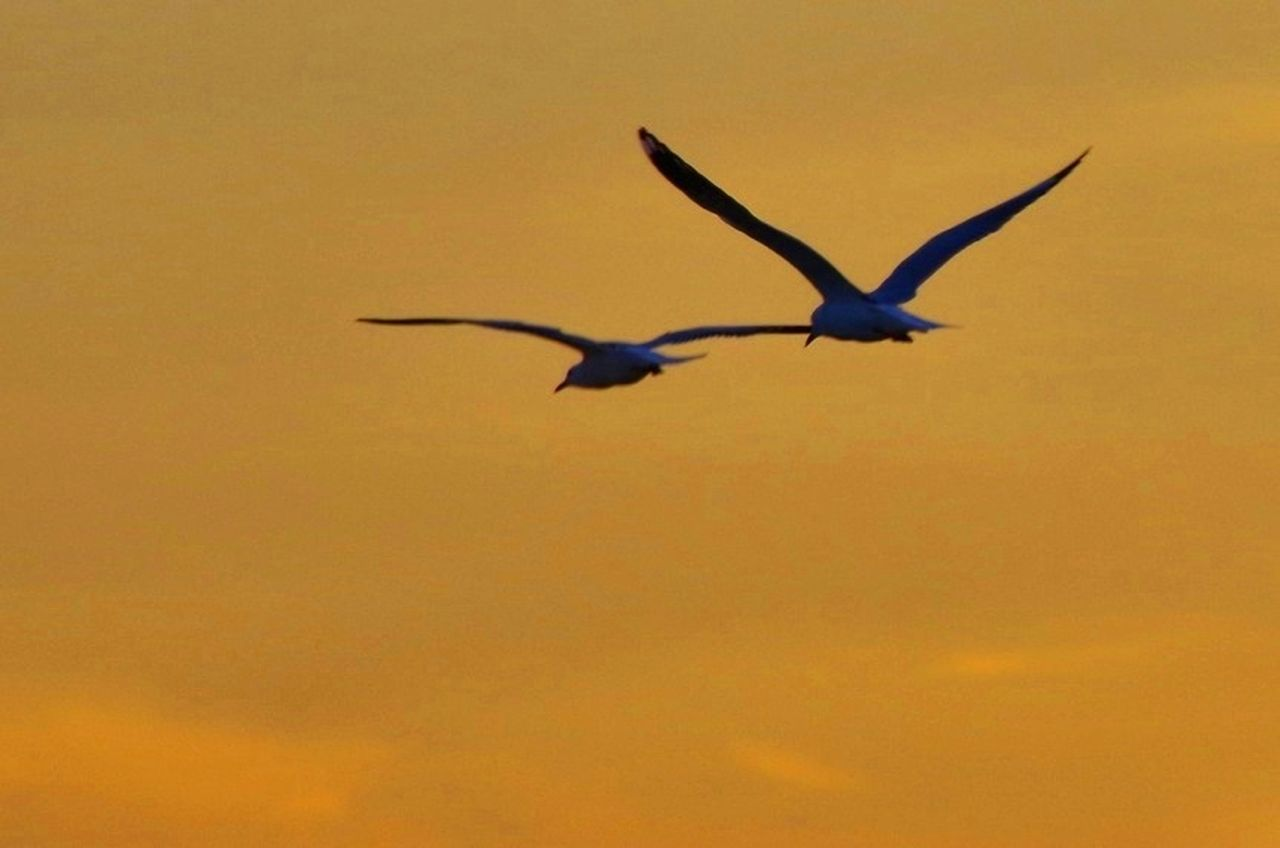 animals in the wild, bird, animal themes, flying, spread wings, one animal, animal wildlife, nature, sunset, no people, outdoors, mid-air, silhouette, beauty in nature, low angle view, day, sky