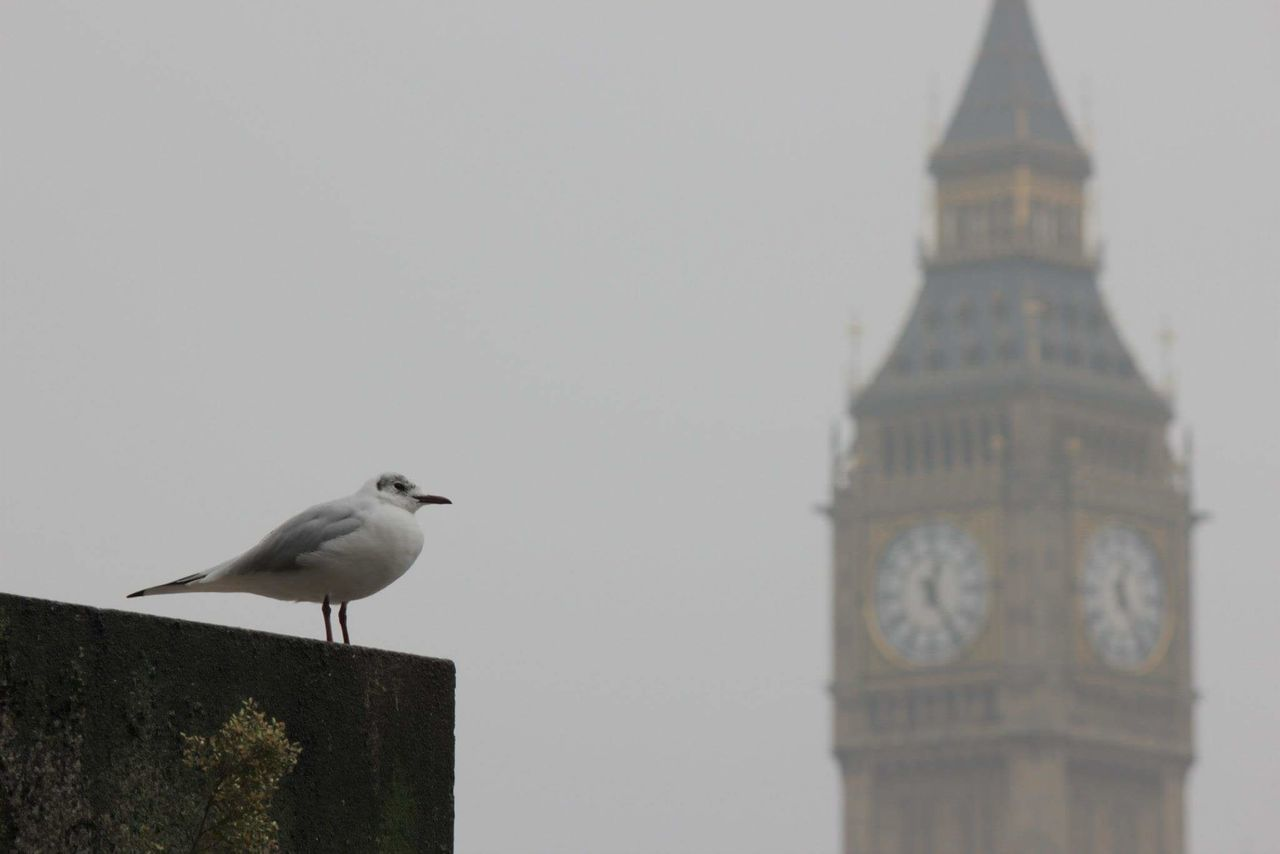 Low Angle View Of Seagull And Big Ben Against Clear Sky During Foggy Weather