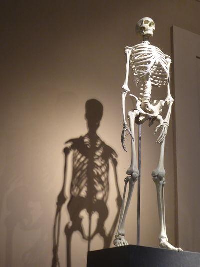 Anatomy Class Bone Structures Of Humans Human Body Part Human Medicine Human Representation Human Skeleton Human Skeleton & Shadow In Berlin Germany Medicine No People Shadow Of Human Skeleton Studio Shot White Background