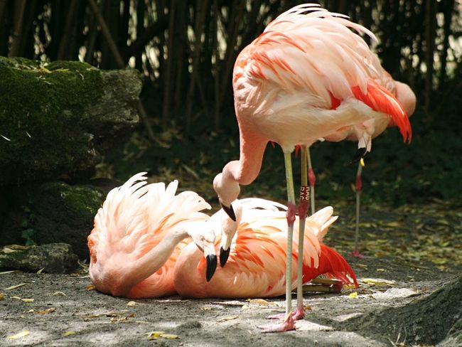 No Filter France Animals Zoo Flamant Rose Bird Pink Flamingo Nature Peace And Quiet