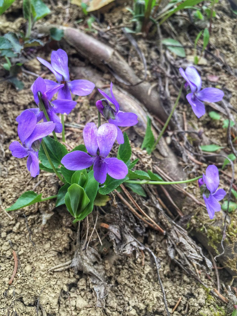 flower, purple, fragility, growth, nature, petal, plant, field, beauty in nature, no people, freshness, day, flower head, outdoors, high angle view, blooming, close-up, crocus, periwinkle