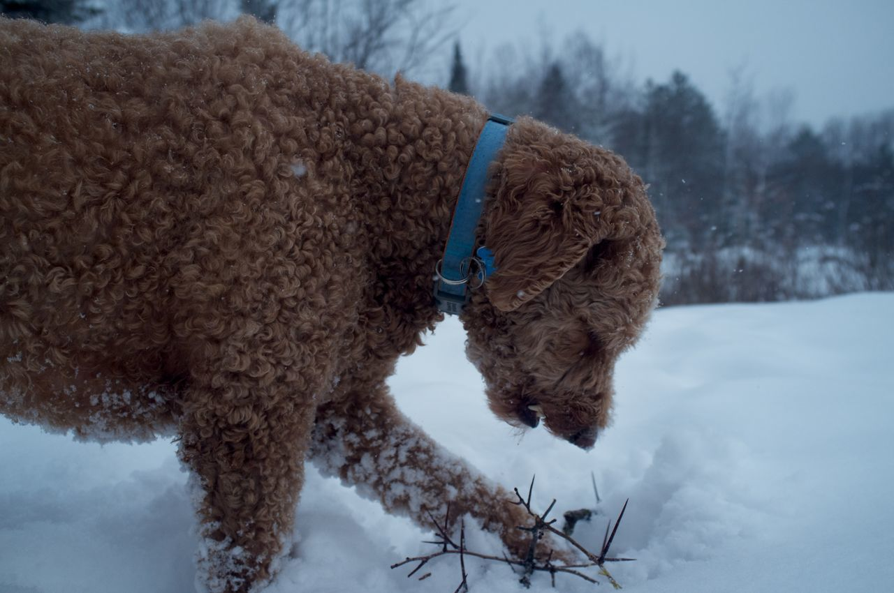 January 26, 2016 Animal Animal Hair Animal Themes Brown Close Up Close-up Cold Cold Temperature Cute Dog Domestic Animals Duluth Goldendoodle Mammal Minnesota No People One Animal Pets Portrait Relaxation Sitting Weather Winter