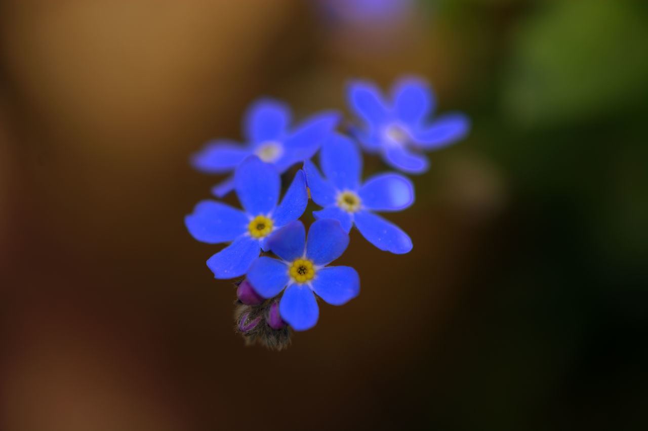 flower, nature, beauty in nature, purple, growth, blue, plant, no people, fragility, blooming, close-up, freshness