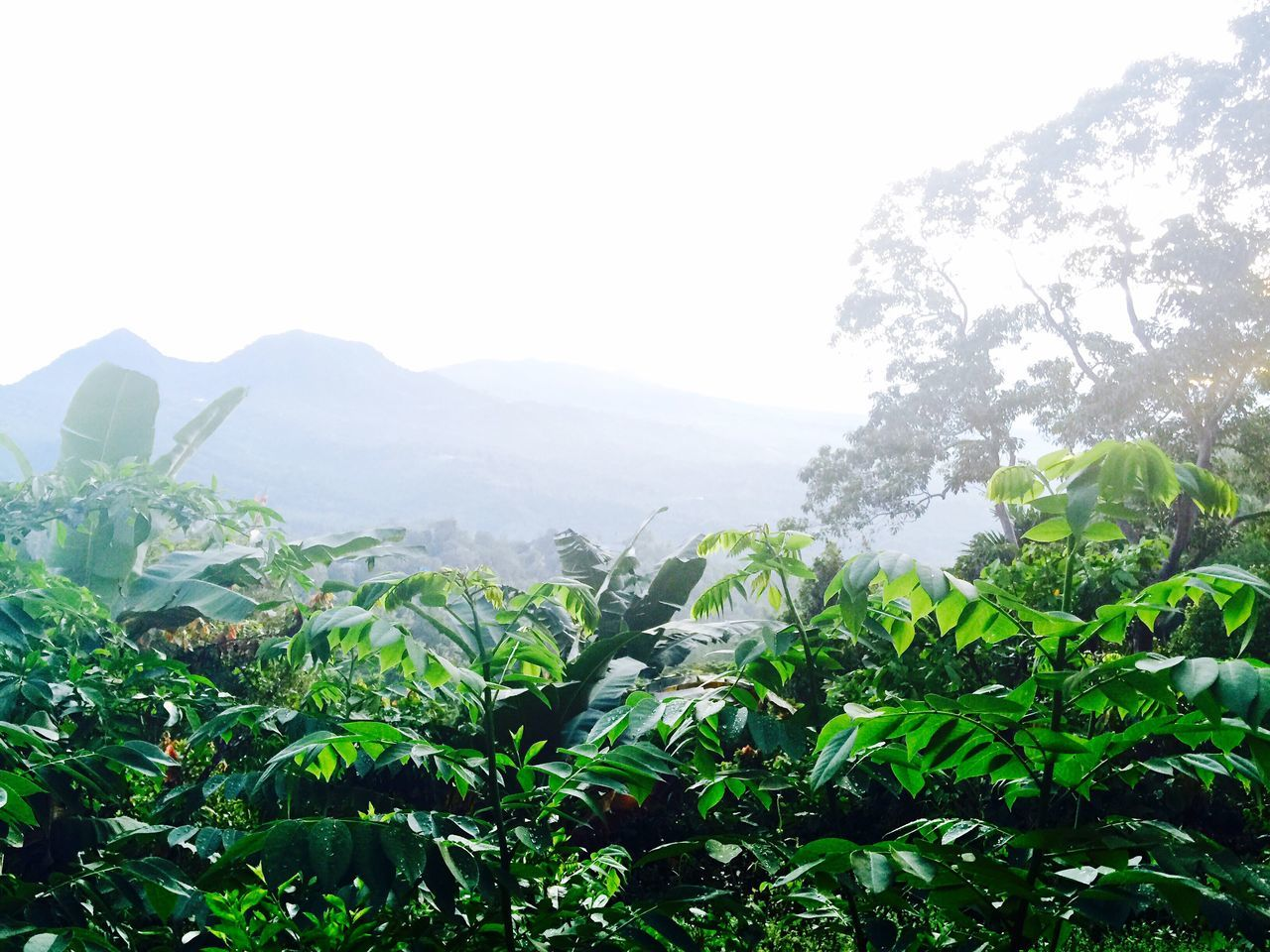 Flores Floresisland INDONESIA Jungle Nature Plants Day Panorama Paysage Beauty In Nature Trees Cacao Cloves 2015