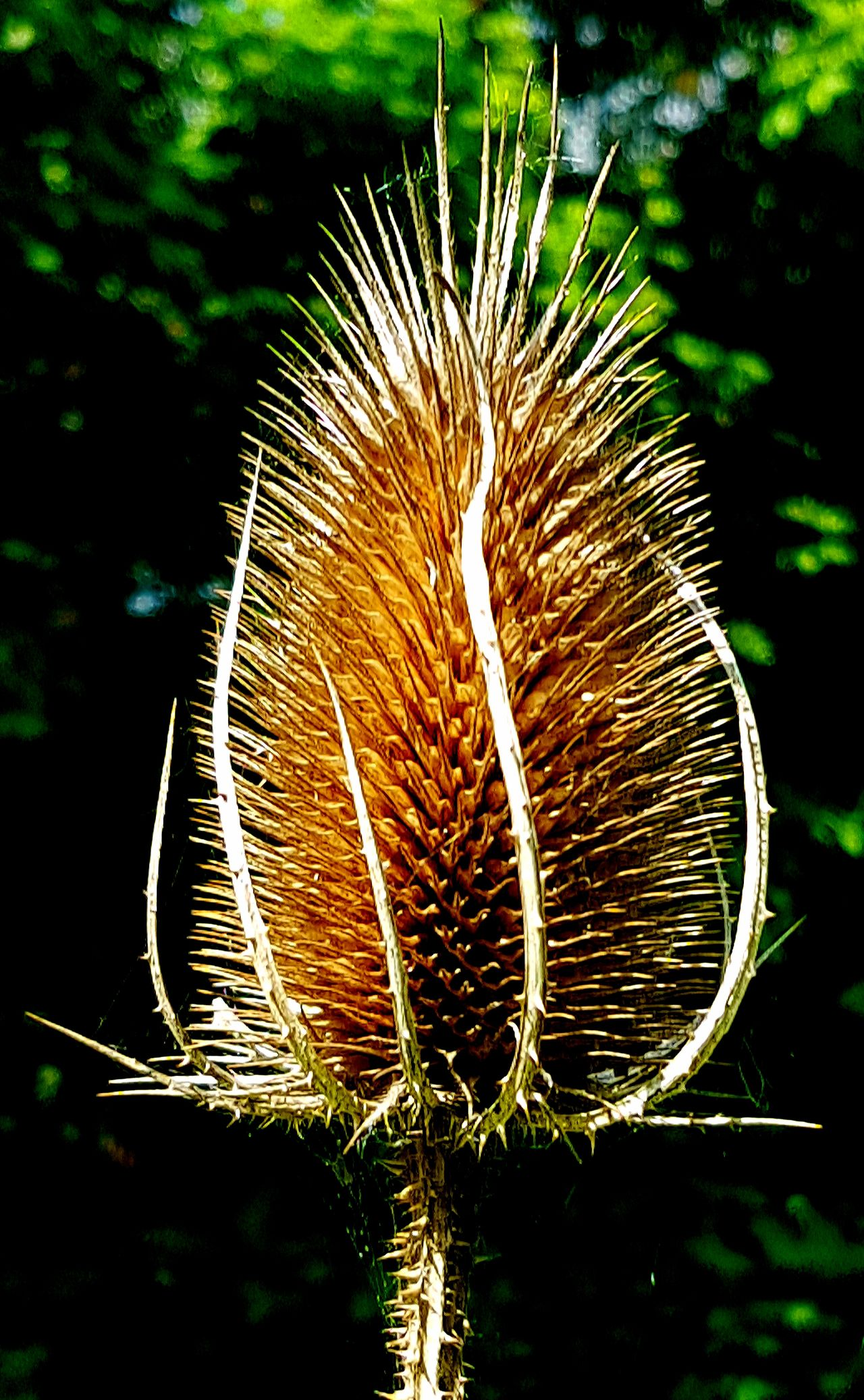 No People Outdoors Nature Close-up Beauty In Nature Day Flower Head Symmetry Teasels