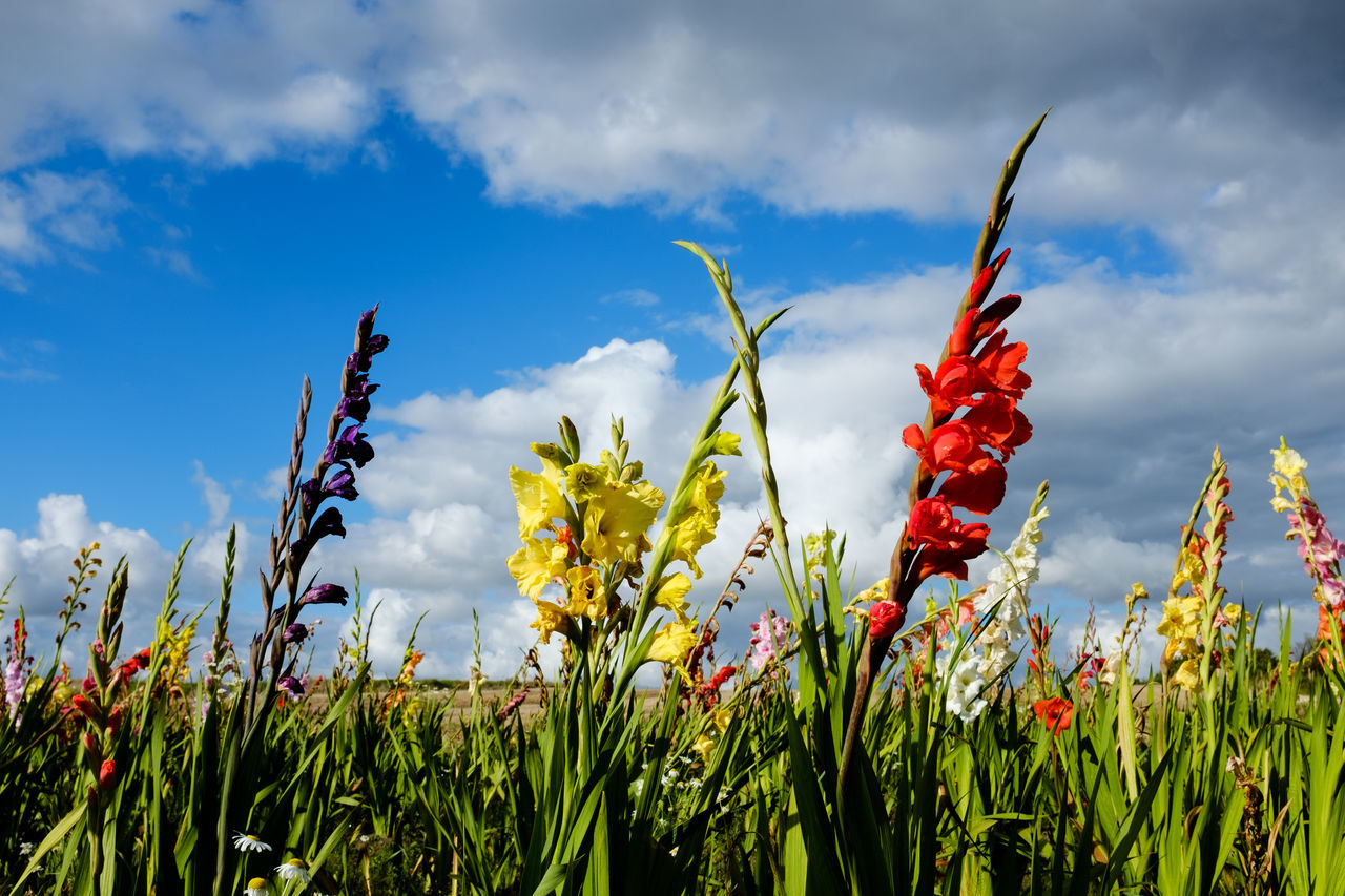 Summer day. Gladiolus field in Denmark. Blue Sky And White Clouds Colorful Nature Denmark Flowers Gladiolus Herning Nature Photography Red Flowers In The Field Summer Day Travel Destinations Travel Photography Yellow Flowers