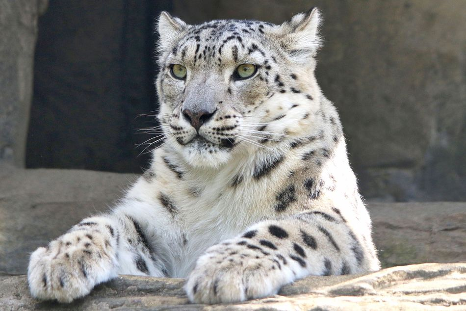 Snow Leopard Animal Themes Animal Wildlife Animals In The Wild Close-up Day Feline Leopard Looking At Camera Mammal Nature No People One Animal Outdoors Portrait Relaxation Tiger