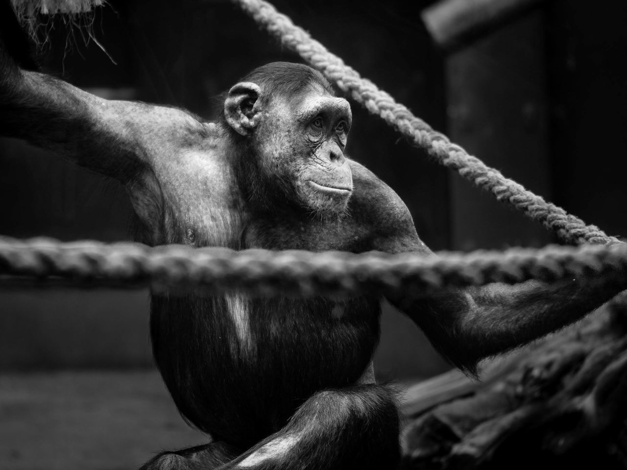 Monkeys Affe Affen Monkey Face Monkey Portrait Animals Zoo Animals  Zoo Animal Photography Monkey Love Battle Of The Cities Magdeburg Monochrome Photography Frame It! Layers And Textures