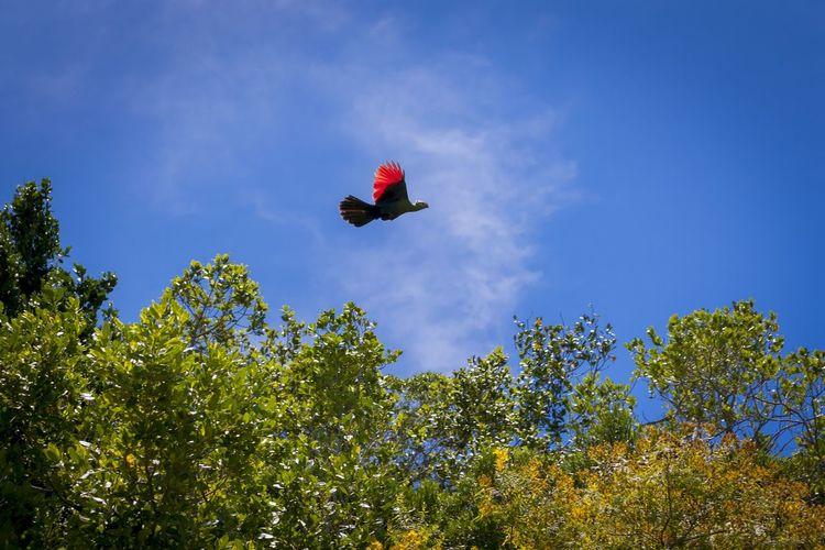 The rare Knysna Loerie caught in action. Flying Tree Blue Nature Outdoors Animal Wildlife Bird Forest Sky Day No People Forest Fire Rare Bird Rare Beauty Rare Birds Rare Bird Shots Turaco Knysna Lourie Hot Air Balloon Mammal