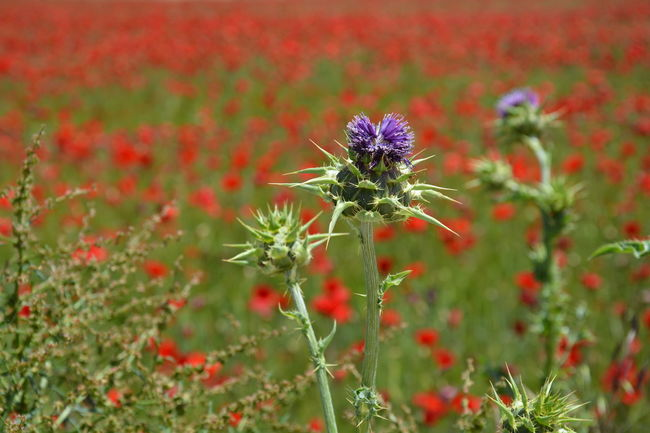 The Essence Of Summer thistles poppies poppy field plants summer red purple green colors grass nature beauty landscape Fine Art Photography Colour Of Life
