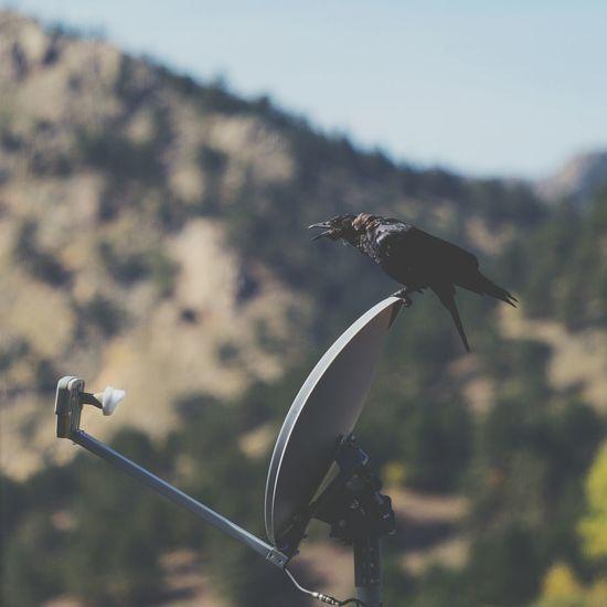 ca-caw! Bird