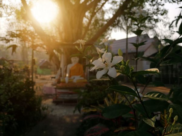 White flowers in front of the Buddha statue under the Bodhi tree. Outdoor Buddha Statue Bodhi Tree Regional Thailand Belive Temple Morning Smooth Sunlight Sunrise Flower Rural Garden Countryside Environment Tree