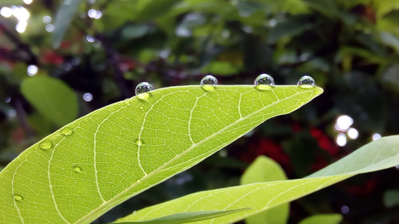 see those rain drops balancing on the margin of the leaf.. so much science happening around us 💧☔⛅ 😊 Leaf Close-up Growth Green Color Leaf Vein Focus On Foreground Plant Nature Beauty In Nature Day Green Outdoors Extreme Close-up Freshness Tranquility Botany Growing Lush Foliage Fragility Rain Drops Rain Drops On Leaves No Edit No Filter