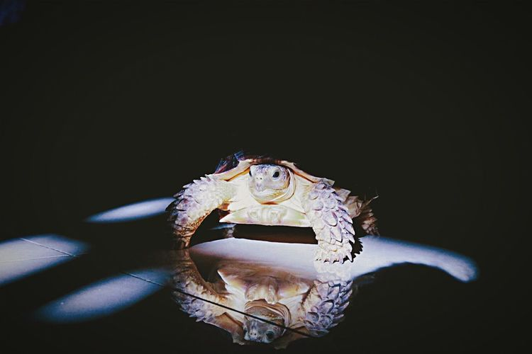 Pet Portraits Pet Photography  Pets One Animal Black Background Animal Themes Sulcata Sulcata Tortoise