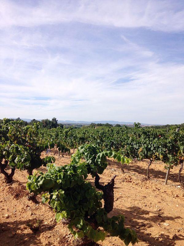 Wine Taking Photos Sun Sud De La France