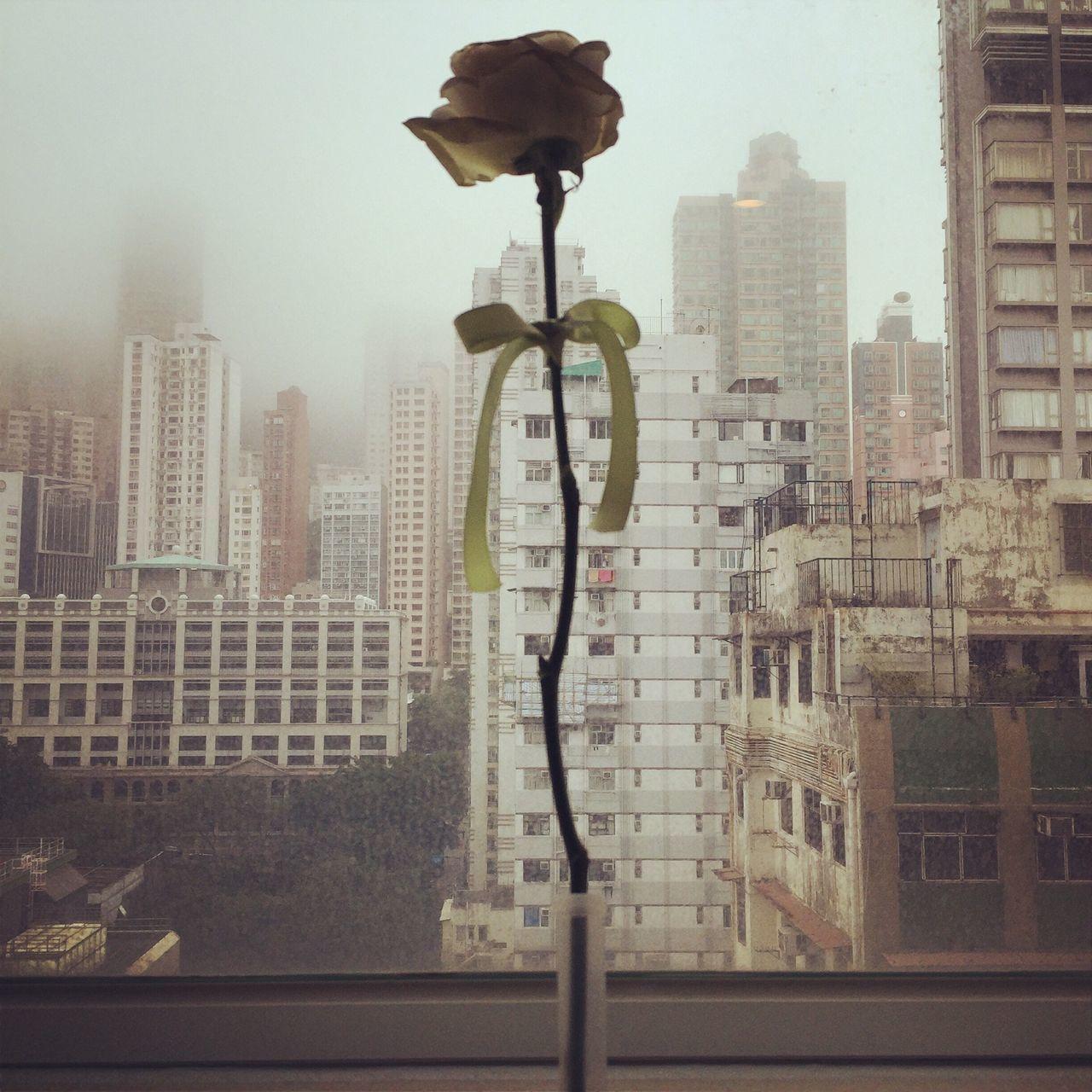홍콩 Rose🌹 Rose - Flower Lonely Hong Kong