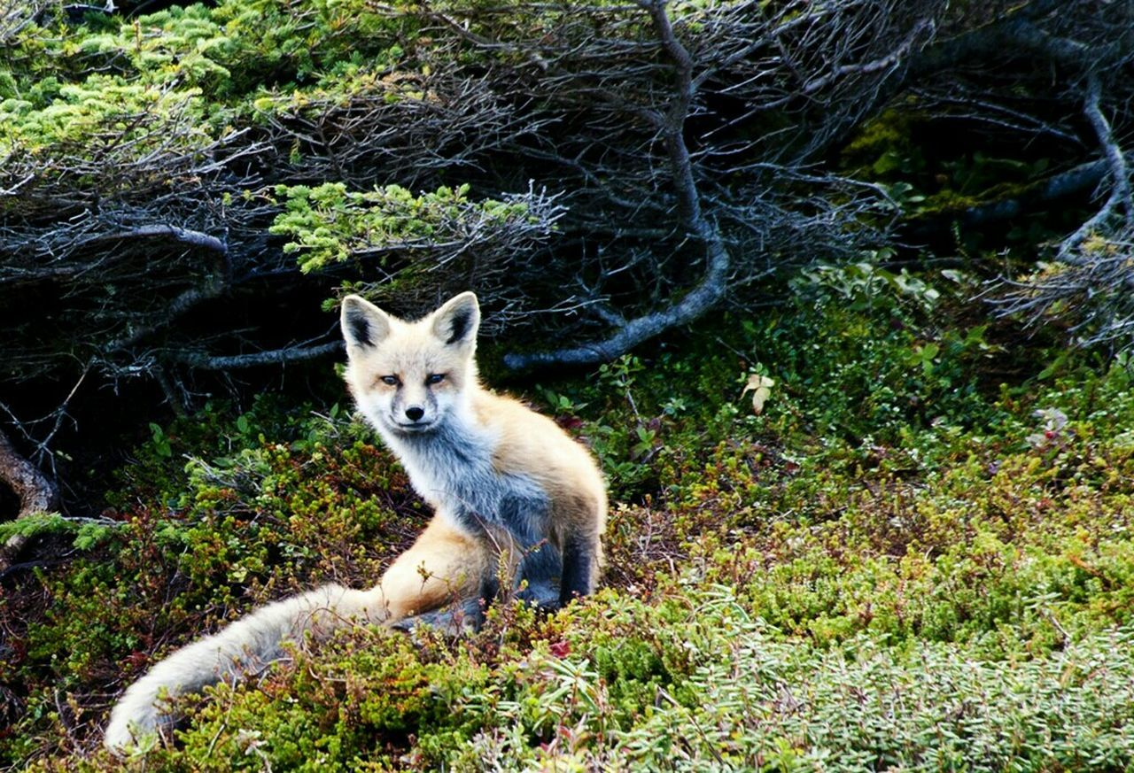 A beautiful fox in Newfoundland! Taking Photos Check This Out Enjoying Life Photography Newfoundland Fox Fox🐺 Red Fox Beautiful Foxy