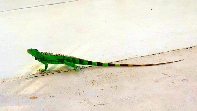 Miami Beach Outdoor Beauty Vacation Time The Great Outdoors The Natural World Iguana Green Iguana Nature On Your Doorstep Lizard Cuteness Lizard Nature Eyeem Lizards Green Lizard The Colour Of Life